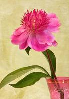 Peony in Pink Vase