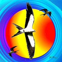 Swallow tailed Kite 2