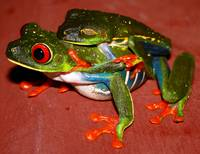 Red eyed Frog Love