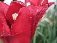 Rain-Kissed Tulip
