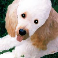 Miniature Poodle Albie Art Prints & Posters by Marian Cates
