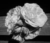 roses, black and white