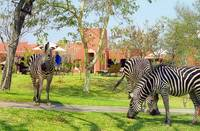 Zebras in our backyard