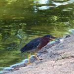 """Green Heron"" by sonjaydewing"