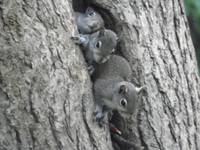 Baby Squirrel Trio