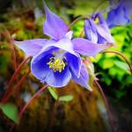 """Blue Columbine"" by paulcausie"