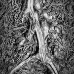 """Tree Root With Pine Needles"" by paulcausie"
