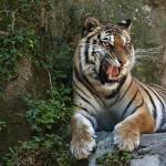 """Tiger"" by melanzata"