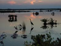 Florida Egret at Sunset