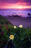 Ice Plants Sunset