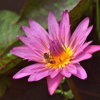Water Lily & Bee 2
