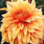 """Chrysanthemum"" by luv4pix"