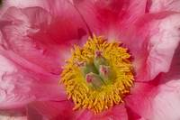 Pink Peony Flower  Close-up Print
