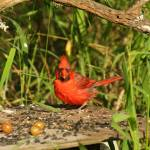 """""""King Ranch Red Bird"""" by PhotographicsUnlimited"""