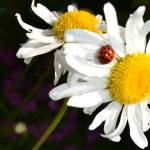 """The Daisy and the Ladybug"" by PatriciaSanders"