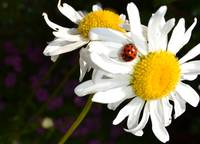 The Daisy and the Ladybug
