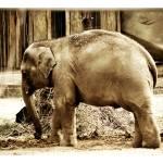 """Baby Elephant"" by JenniferEdwards"