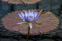 Tropical Water Lily Flower And Pads
