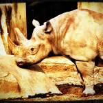 """""""Rhino"""" by JenniferEdwards"""