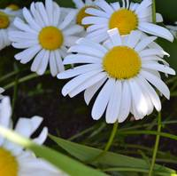 Daisies in June