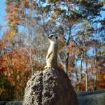 """Meerkat on-guard"" by greyloch"