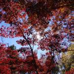 """sunlight thru red leaves"" by greyloch"
