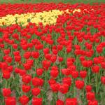 """Tulip Field"" by sharpeye"