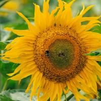 Bee on Sun Flower Art Prints & Posters by Otis P. Motley