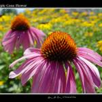 """purple cone flower"" by Aleecat"
