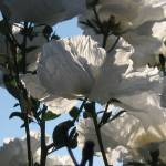 """Matilija Poppies"" by luv4pix"