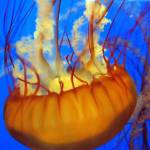 """Sea Nettle Jellyfish #2"" by luv4pix"