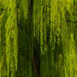 """""""Weeping Willow Tree Landscape"""" by PhotographsByCarolFAustin"""