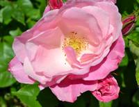 Beautiful Wild Rose