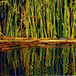 """Coot among the Reeds"" by luv4pix"
