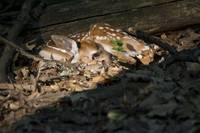 Newborn Fawn in Sunlight