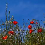 """Poppies on a blue sky"" by Spangles44"
