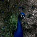 """Peacock"" by 3X2Photo"