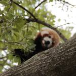 """Red Panda"" by 3X2Photo"
