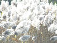 Transilluminated Pampas Grass