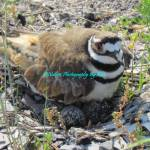 """Killdeer on her nest."" by elsieburnette"