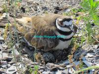 Killdeer on her nest.