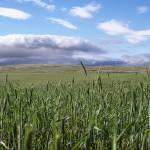 """""""Rye Field Landscape"""" by aswendener"""