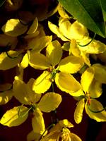 Amaltash (Indian laburnum)