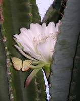 Cactus Flower and Moth