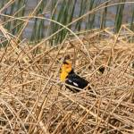 """Yellow Headed Blackbird 0526"" by rayjacque"