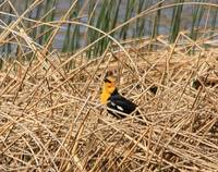 Yellow Headed Blackbird 0526