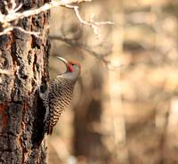 Common Flicker Red Race 8962
