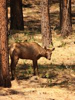 Cow Elk By Cabin 1237