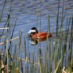 """Ruddy Duck 1543"" by rayjacque"