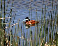 Ruddy Duck 1543